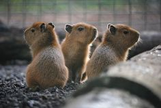 Three baby capybaras, the world's largest rodents, have had their first ever health check-ups at Chester Zoo. The trio – named Sakai, Byron and Kosh - were born on Oct 5 to mum Lily and dad Mordon. Wombat, Cute Baby Animals, Animals And Pets, Wild Animals, Animals Photos, Baby Capybara, Cotswold Wildlife Park, Houston Zoo, Chester Zoo