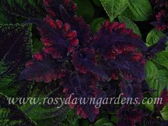 Houseplants for Better Sleep Coleus 'Dark Beauty' Medium Upright - Right 4 Greenhouse Plants, Garden Plants, Christmas Plants, Rare Orchids, Plant Catalogs, Foliage Plants, Cool Plants, Tropical Garden, Dark Beauty