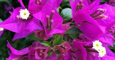 Las 4 plantas trepadoras de floración más hermosa