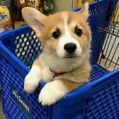 Ideas Baby Names Welsh Corgi Puppies - Baby Baby Baby - Puppies Aussie Puppies, Baby Puppies, Cute Puppies, Cute Dogs, Dogs And Puppies, Teacup Puppies, Cute Corgi Puppy, Corgi Funny, Corgi Dog