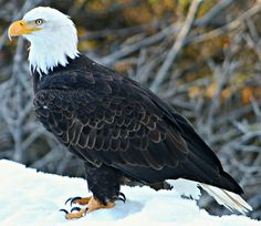 Another incredible bald eagle I was lucky to capture in Yakutat, Alaska on February 5, 2013 last week in Yakutat, Alaska (Click on image for more photos)...