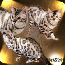 Bengal Cats Rising Sun Farm Bengal Cat Cat Reference Cats
