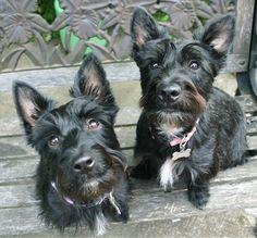 Scoland Terriers (Scottish Terrier / West Highland White Terrier Hybrid)