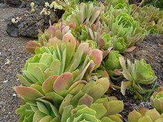 Aeonium palmense - Wikiwand