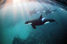 Freediving With Orca Whales Adventure Video and Photos