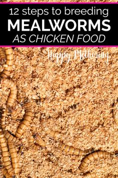 Do you want to learn how to breed mealworms? Learn about breeding mealworms for chicken food. It's a very inexpensive DIY project that chickens love. Meal Worms For Chickens, Meal Worms Raising, Keeping Chickens, Raising Chickens, Treats For Chickens, Pet Chickens, Chicken Garden, Backyard Chicken Coops, Backyard Farming