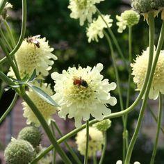 Cephalaria gigantea - Giant Scabious