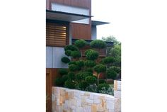 Cloud pruned - Hollywood Juniper Outside Living, Go Outside, Cloud Pruning, Evergreen Shrubs, The Outsiders, Hollywood, Clouds, Landscape, Gallery