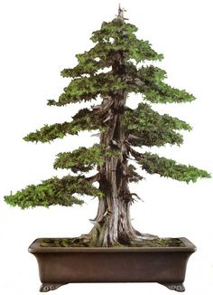 "bonsaitoday: "" Needle Juniper Juniperus Rigida, Bonsai Today #9, Cover """