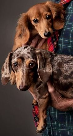 Lovely dachshund pair.