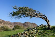Windblown tree | Colin Cafferty Phot. colincafferty.com - Lone tree on the edge of Ballycroy Nat. Park