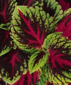 Coleus, Painted Nettle - Solenostemon scutellarioides.  Coleus belong to the mint family, and are native to tropical Africa and Asia. They are popular summer annuals that are easy- to-grow in the shade. Their colourful leaves are often blotched or variegated and come in a variety of attractive shapes and sizes; and in many startling colours and combinations of colours.