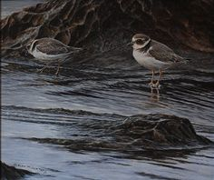 Original British Bird Paintings For Sale - Juvenile Ringed Plovers - Acrylic - 17 x 15 - Framed - Price - Alan M Hunt Bird Paintings, Paintings For Sale, Rusty Spotted Cat, Black Footed Cat, Iberian Lynx, Pallas's Cat, Sand Cat, Clouded Leopard, Serval