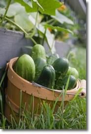 Growing Cucumbers, How to Grow Cucumbers, and Planting Cucumbers Using a Cucumber Trellis  (or in my case, hopefully how to grow cucumbers that don't rot on the vine...)