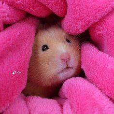 明日も晴れるわね http://ameblo.jp/hamakiyo-2912/ #ハムスター #happy #hamster