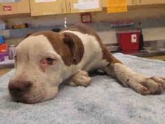 #A1188000 (MUST EXIT ON 4/21) AT RIVERSIDE! My name is 188000. I am a male, red and white Pit Bull Terrier. The shelter staff think I am about 10 months old. I have been at the shelter since Apr 16, 2015. If I am not claimed, after my stray holding period, I may be available for adoption on 04/21/2015. Riverside County Animal Control - City of Fontana at (951) 358-7387 https://www.facebook.com/photo.php?fbid=10203382598599568&set=a.4148380881719.128766.1649756531&type=3&theater