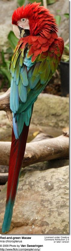 Red-and-green Macaw (Ara chloropterus), also known as the Green-winged Macaw