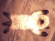 Ricky Gervais kitten siamese siames gato gatito mish