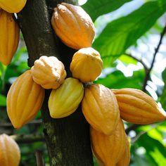 Cacao tree...