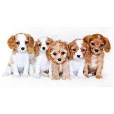 Jessica Yorkiepoo Yorkie Poo Puppy For Sale Near Columbus Ohio 3d2e6dee E761 Yorkie Yorkie Poo For Sale Yorkie Poo