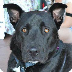 Chandler, AZ - Labrador Retriever/Akita Mix. Meet Bear a Dog for Adoption.