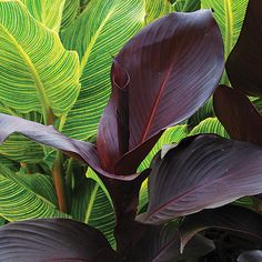 Tropicanna Black canna    This exotic canna has leaves so dark, you'll wonder how it photosynthesizes. Sinister, to say the least. Zones6-9, 12-24; H1, H2; or dig and store.