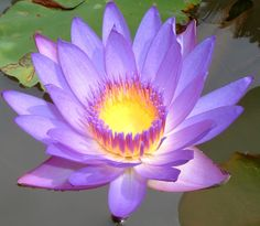 http://ourworldsview.com/wp-content/uploads/2012/08/lotus-flower-1024x892.jpg