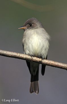 Eastern Wood Pewee | The Music of Nature