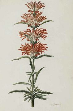 Lion's ear, Wild dagga. Leonotis leonurus. Moninckx, J., Moninckx atlas, vol. 2: t. 30  (1682-1701) | by Swallowtail Garden Seeds