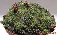 chamacereus Cactus Gallery