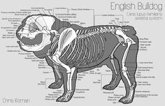 Dog's Skeleton View | An English bulldog's skeletal and superficial muscle system study I ...
