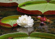 """Star of the water – In the rivers of the Amazon. The photographer noted, """"The water lily (Victoria regia), an aquatic plant is typical of the Amazon region. Its leaves are large and circular, with folded edges, forming a sort of basin. They can reach 2 meters in diameter. The leaves of the lily pad can withstand the weight of a small child in the water without sinking."""""""
