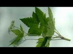Planta din Biblie Care Face Minuni Pentru Sanatate * Darul Pentru Isus - YouTube Plant Leaves, Herbs, Youtube, Bible, Diet, Plant, Varicose Veins, Herb, Youtubers