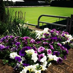 Care for some purple and green? Wimbledon 2013 is almost here! Wimbledon 2013, Wimbledon Tennis, Home And Garden, Purple, Planting, Green, June, Sports, Flowers