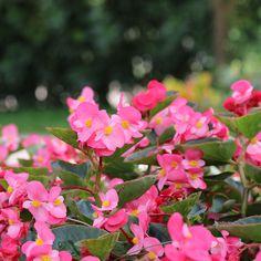 Beautiful Annual Shade Plants | Costa Farms