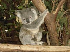 Amazing wildlife - Koala Bear baby photo #koalas
