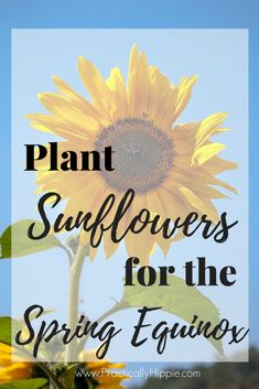 Planting Sunflowers for Spring Equinox Plant sunflowers for spring equinox – Are you wanting to plant sunflowers with kids? Learn how to plant sunflowers in the ground or in pots for Spring. Nature Activities, Spring Activities, Activities For Kids, Science Activities, Planting Sunflowers, Growing Sunflowers, Poetry For Kids, Vernal Equinox, Spring Plants
