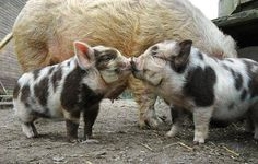 """Pig-Kiss"""
