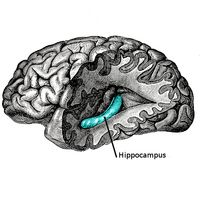 Atrophy of the hippocampus is exactly what we would expect to find given our understanding of chronic pain as a form of central sensitization: