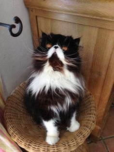 Tri-colored Persian - looks like the diabeetus cat