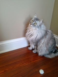 Siberian Cat Playing Fetch