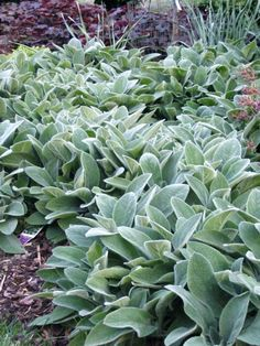 "Lamb's Ear (Stachys byzantina) 'Silver Carpet' | Rapidly spreading mat of soft, velvety silvery leaves, 3-6""H x 9-12""W, dry-medium, well drained soil, light afternoon shade in hot climates, drought tolerant, this cultivar rarely produces flower spikes, tends to rot in humid summers, z.4-8, may need to contain."