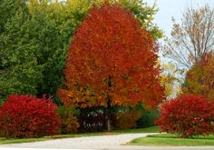 Ash trees make for lovely fall foliage specimens: http://landscaping.about.com/cs/landscapecolor/a/fall_foliage1.htm