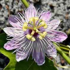 Stinking Passionflower (Passiflora foetida) | Flickr - Photo Sharing! #Passiflora
