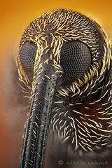 The Snout Master (even closer)  Dorytomus longimanus (Coleoptera, Curculionidae) male.