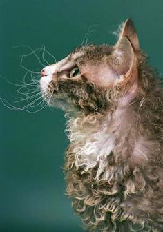 La Perm Cat ...cats with curly hair how fun :)