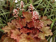 HEUCHERA ~~~ RIO ~~  A large and vigorous multicolored Heuchera whose new leaves open peach-amber, change to amber, then to tan, and finally to yellow amber.