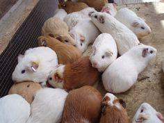 Guinea Pig Life Span | How Long Do Guinea Pigs Live