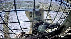 """Carla Bertrand """"Bertrandspecial"""": Google+ El encierro asfixiante en que viven los animales con los que se hacen los abrigos más caros del mundo http://www.bbc.com/mundo/video_fotos/2016/04/160426_video_marta_cibelina_granja_lp?post_id=10206356053198357_10208872858516917#_=_"""