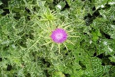 This page gives instructions on how to buy heirloom milk thistle herb seeds from David's Garden Seeds. Herb Seeds, Garden Seeds, Planting Seeds, Grow Organic, Organic Herbs, Greek Flowers, Buy Milk, Milk Thistle, Edible Flowers